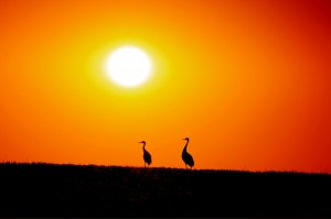 photo by Kelly Brown When the sun sets on the Lake Wobegon Trail you never know what you will capture. I was lucky enough to spot this pair of sandhill cranes recently as they finished their evening feeding. If you stop, look and listen nature always has a way of rewarding you.