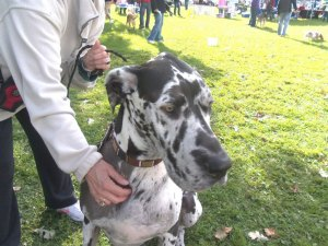 "photo by Dennis Dalman If there had been a contest for ""biggest dog"" at Woofstock, Oliver the Great Dane would have taken the prize. He is owned by Connie Schultz of Avon."